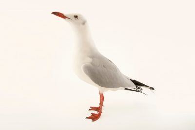 Photo: A grey headed gull, Larus cirrocephalus poliocephalus, at the Plzen Zoo.