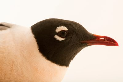 Photo: Franklin's gull (Leucophaeus pipixcan) in summer plumage at Nebraska Wildlife Rehab in Louisville, NE.