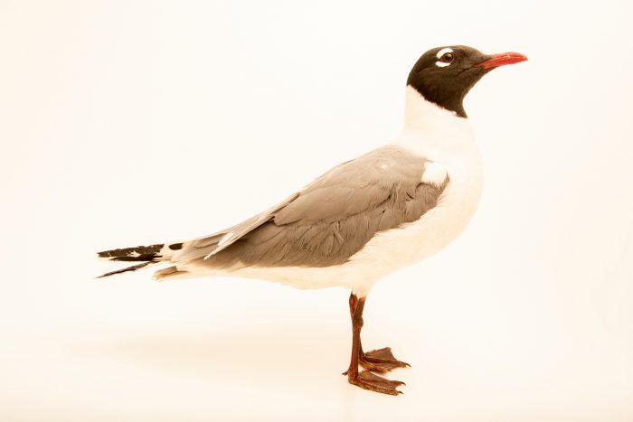 Photo: Franklin's gull (Leucophaeus pipixcan) in summer plumage at Nebraska Wildlife Rehab in Louisville, NE.