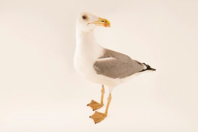 A yellow-legged gull (Larus michahellis michahellis) at the Wildlife Rescue Center of Rome (LIPU).