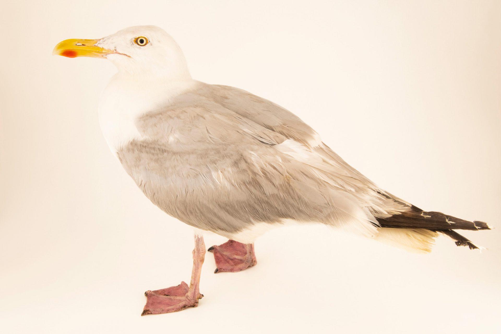 Photo: A European herring gull (Larus argentatus argenteus) at Hessilhead Wildlife Rescue.