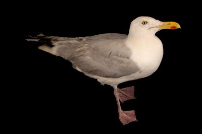 Photo: A European herring gull (Larus argentatus argenteus) at Hessilhead Wildlife Rescue.