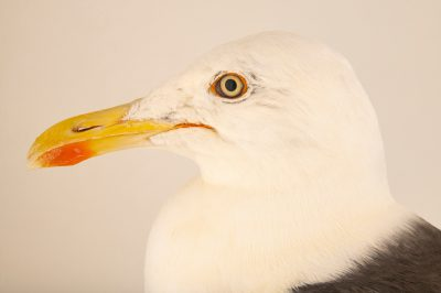 Photo: A lesser black-backed gull (Larus fuscus graellsii) at Hessilhead Wildlife Rescue.