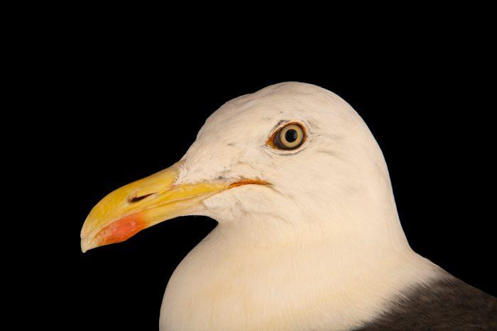 Photo: A lesser black-backed gull (Larus fuscus graellsii) at Hessilhead Wildlife Rescue.