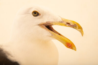 Photo: A kelp gull (Larus dominicanus dominicanus) at BioParque do Rio.