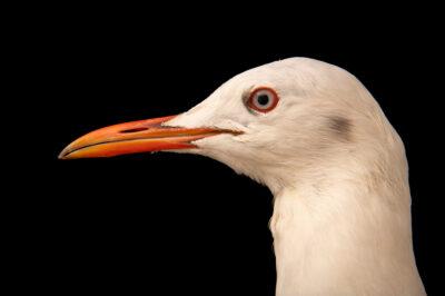 Photo: A slender-billed gull (Larus genei) at Zoo Plzeň.