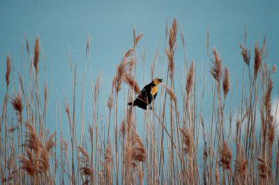 Photo: Yellow-headed blackbird.