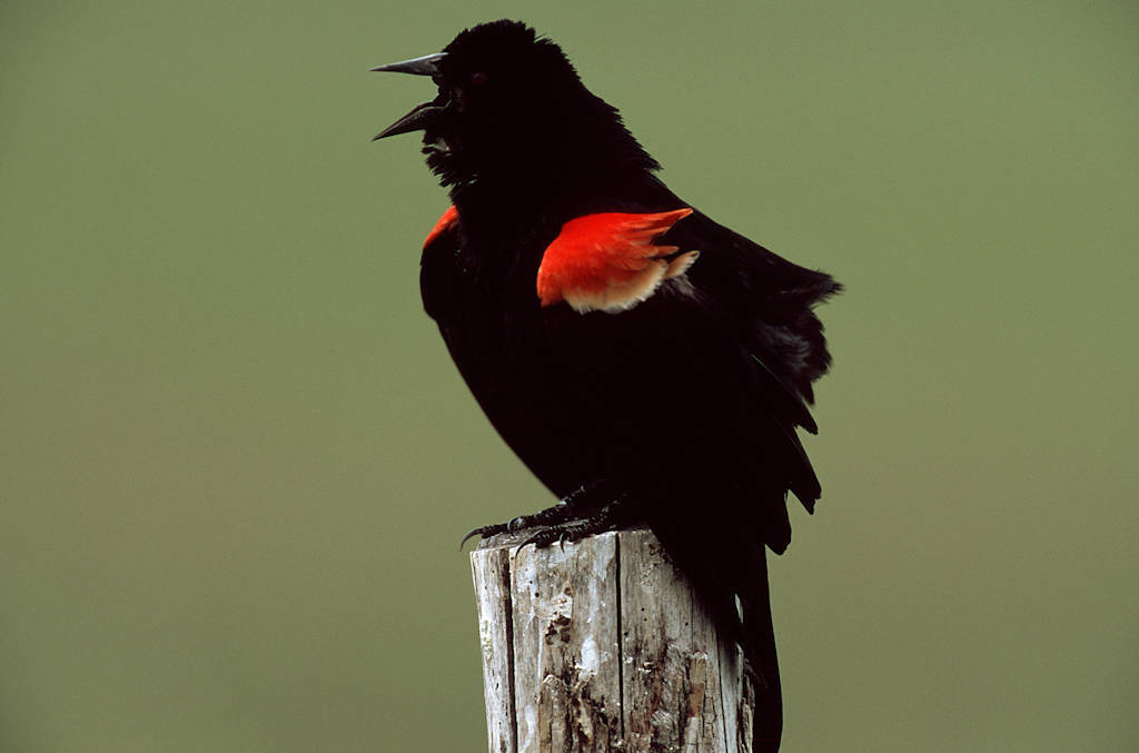 A Red-winged blackbird (Agelaius phoeniceus) in Louisiana.