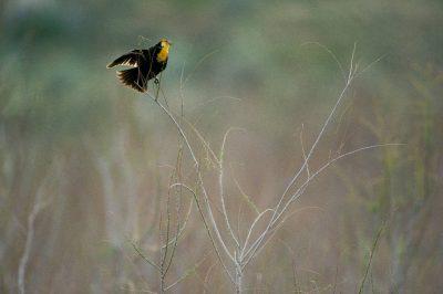 Photo: Yellow-headed blackbird at Antelope Island, Utah.