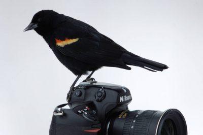 A red-winged blackbird (Agelaius phoeniceus) takes flight from a Nikon D2X camera at Waveland Farm near Bennett, NE.