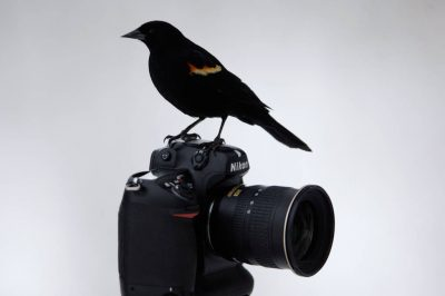 A red-winged blackbird (Agelaius phoeniceus) perches on a Nikon D2X camera at Waveland Farm near Bennett, NE.