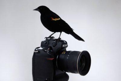 A red-winged blackbird (Agelaius phoeniceus) perches on a Nikon D2X camera at Waveland Farm near Bennett, NE.
