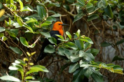 Photo: Scarlet-headed blackbird (Amblyramphus holosericeus) from the Toledo Zoo.