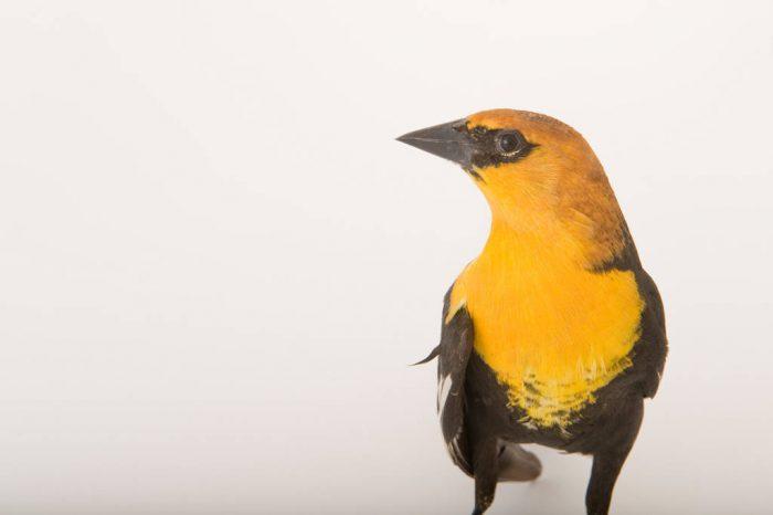 A yellow-headed blackbird (Xanthocephalus xanthocephalus) at the Wildlife Center in Espanola, New Mexico.