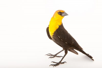 A yellow-headed blackbird (Xanthocephalus xanthocephalus) at the Wildlife Center in Espanola, New Mexico.