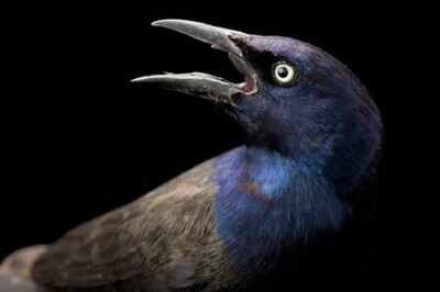 A male common grackle (Quiscalus quiscula) at the San Antonio Zoo.