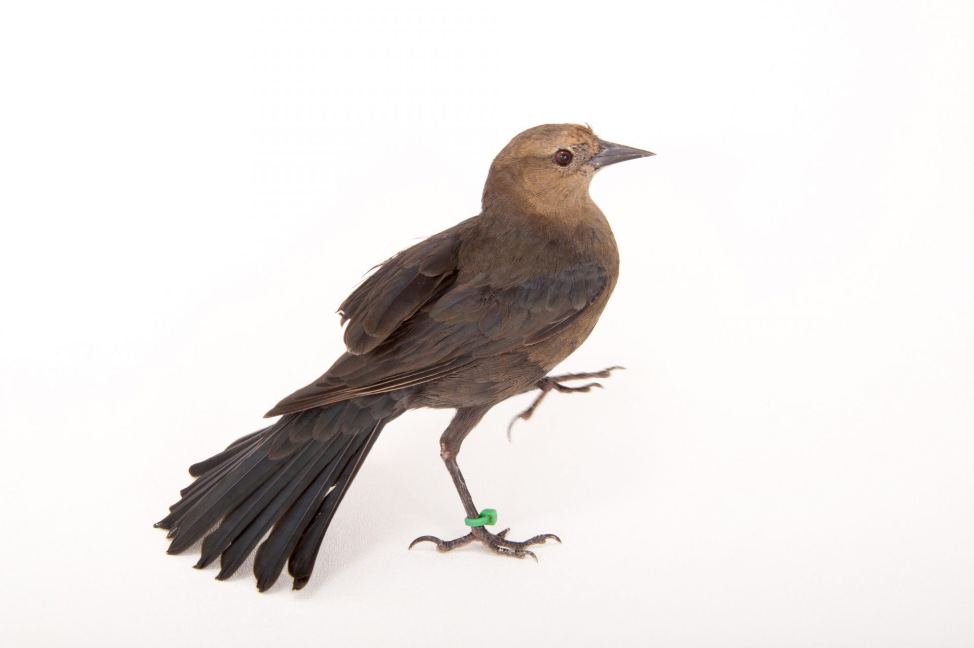 Picture of a Brewer's blackbird (Euphagus cyanocephalus) at Tracy Aviary.
