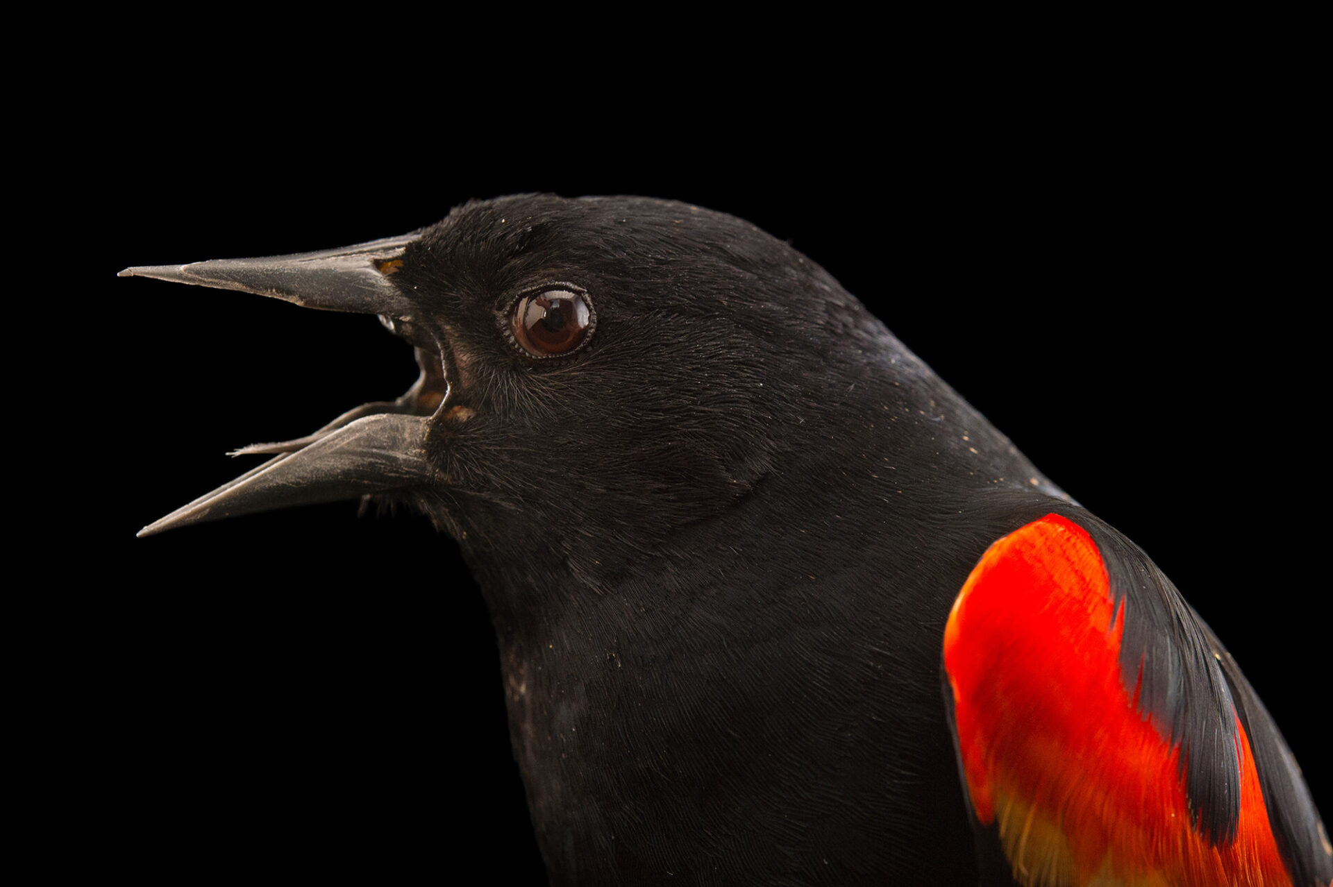 Picture of a Red-winged blackbird (Agelaius phoeniceus) at Tracy Aviary.