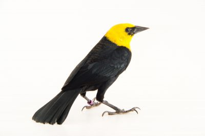Picture of a yellow-hooded blackbird (Chrysomus icterocephalus) at the National Aviary breeding center in Palmar, Colombia.