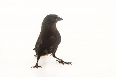 Picture of a velvet-fronted grackle (Lampropsar tanagrinus) at the National Aviary breeding center in Palmar, Colombia.