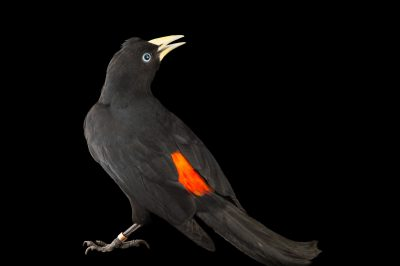 Picture of a scarlet-rumped cacique (Cacicus uropygialis) at the National Aviary breeding center in Palmar, Colombia.