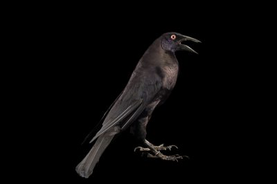 Picture of a giant cowbird (Scaphidura oryzivora) at the National Aviary breeding center in Palmar, Colombia.