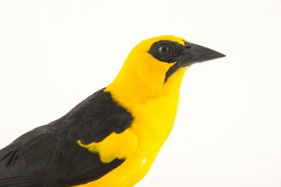 Picture of an oriole blackbird (Gymnomystax mexicanus) at the National Aviary breeding center in Palmar, Colombia.