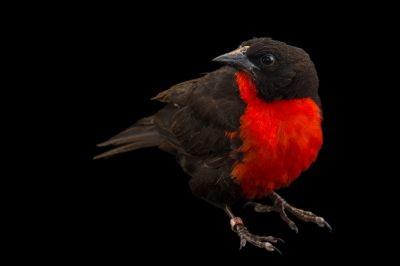 Picture of a red-breasted blackbird (Sturnella militaris) at the National Aviary of Colombia.