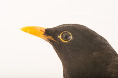 Picture of a common blackbird (Turdus merula) from the Budapest Zoo.