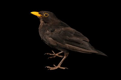 Photo: A common blackbird (Turdus merula merula) at Hessilhead Wildlife Rescue.