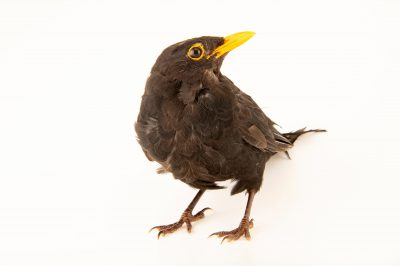 Photo: A common blackbird (Turdus merula merula) at Hessilhead Wildlife Rescue.