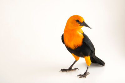 Photo: A scarlet-headed blackbird (Amblyramphus holosericeus) at the Prague Zoo.