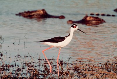 Photo: Black-necked stilt and alligators along the Texas Coast.
