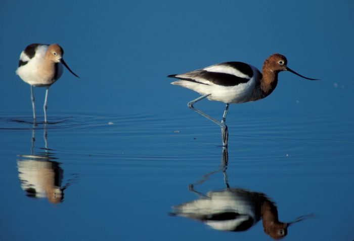 Photo: American avocets at Merced NWR in California's central valley.