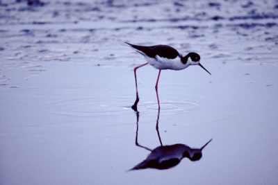 Photo: Black-necked stilt at Sabine NWR in Louisiana.