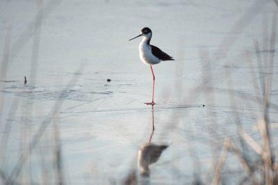 Photo: Black-necked stilt at Sabine NWR in Louisiana.