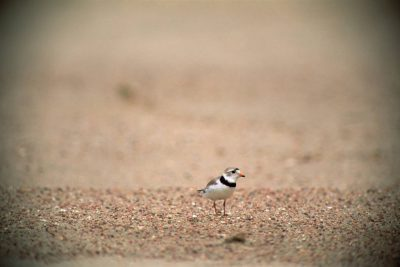 Photo: The endangered piping plover on the banks of the Platte River in Nebraska.