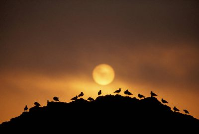 Photo: Shorebirds silhouetted on a rock on the coast of Vancouver Island along Clayoquot Sound (British Columbia, Canada.)