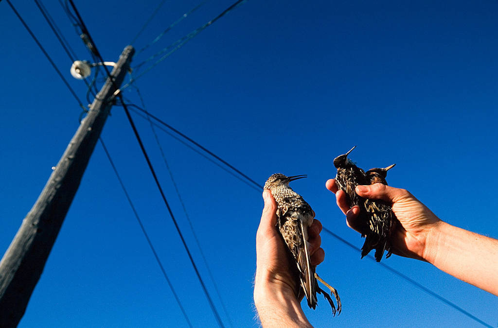 Shorebirds killed by a collision with power lines at Prudhoe Bay oil field on Alaska's North Slope.