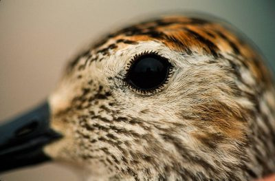 Photo: Close up of the eye of a sandpiper near Barrow.