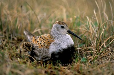 Photo: A dunlin sits on its nest in Alaska.
