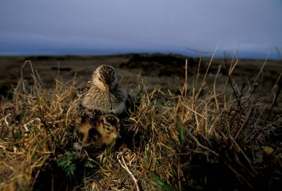 Photo: A dunlin with chicks on Alaska's North Slope.