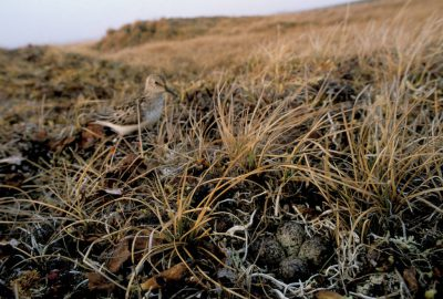 Photo: A dunlin with eggs on Alaska's North Slope.