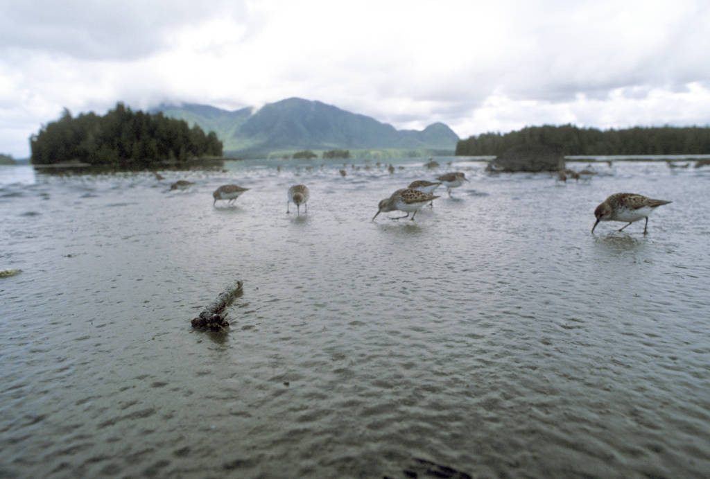 Photo: Shorebirds forage on a mudflat in Clayoquot Sound, British Columbia, Canada.