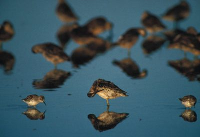 Photo: Shorebirds at Merced NWR near Merced, California.