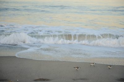 Photo: Sanderlings search for food in the tide line at Venice Beach, CA.