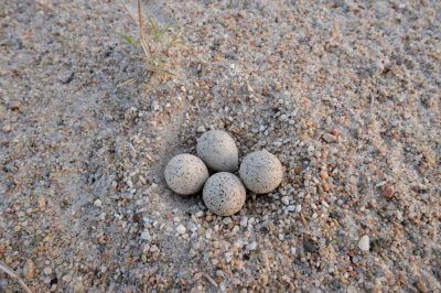 The nest of a piping plover (Charadrius melodus) in Waterloo, Nebraska. (US: Endangered)