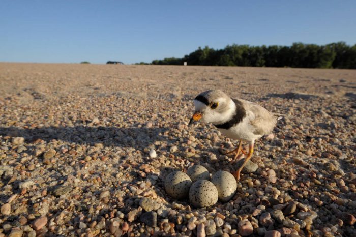 A piping plover (Charadrius melodus) guards her nest in Waterloo, Nebraska. (US: Endangered)