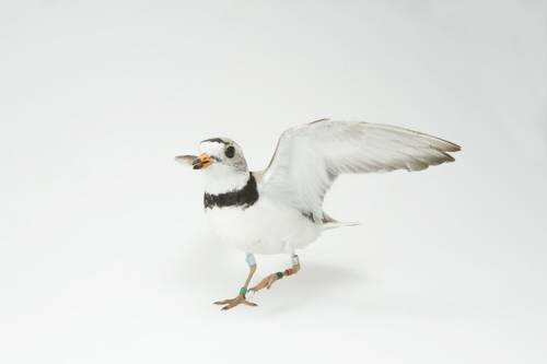 A piping plover (Charadrius melodus). (US: Endangered)