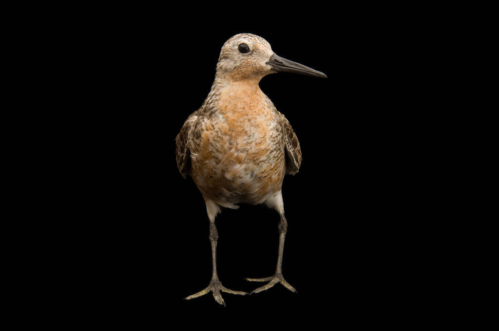 Studio portrait of a red knot (Calidris canutus). The species is a candidate for listing under the Endangered Species Act due to a rapid decline in population. It is on one food during it's northward migration: horseshoe crab eggs. Overfishing of the crabs has led a dramatic the decline of both knots and crabs.